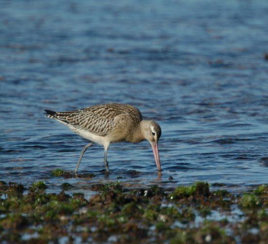 Observação de Aves (Birdwatching)