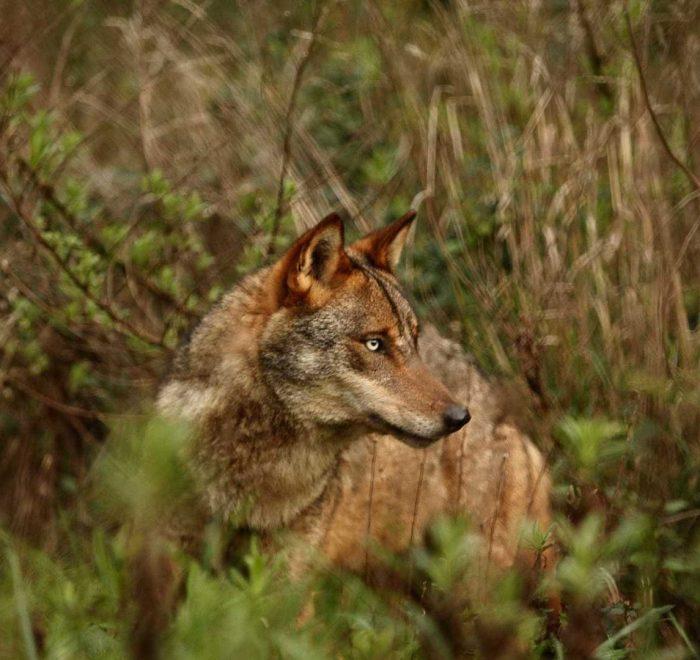 Centro de Recuperação do Lobo Ibérico